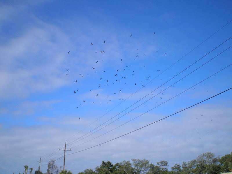 Buzzards swarming