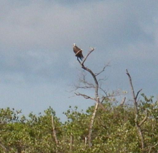 Osprey or eagle