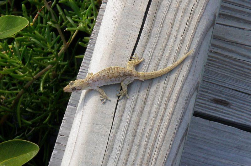 Lazy gecko